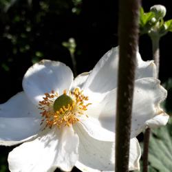 Photo of japanese anemone